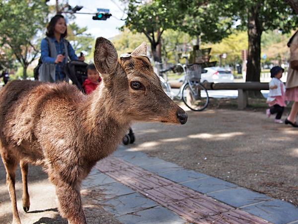 kyoto-kids-nara-deerk-park-3