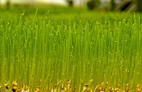 Kin Yan wheatgrass