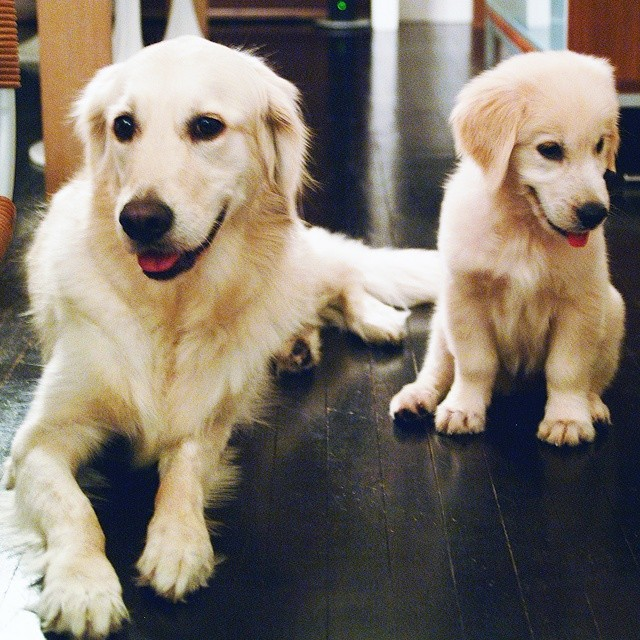 Mini-me? I love this old photo of my two golden retrievers. Hard to believe the older one is no longer with us and the little one is now into her second decade. Adorable pups, the both of them. #goldenretriever #minime #puppy #furkid #family #dog