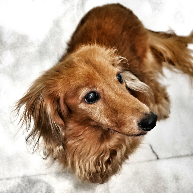The world's most discerning dachshund aging very gracefully. Our co-host from last night's wonderful dinner. He still looks like a puppy. Hard to imagine he's almost in his teens. #dog #dachshund #aginggracefully #handsome #rakish #dogslife #portrait #cute #family